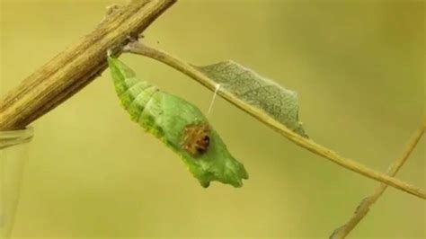 Parasitic Ichneumon Wasp Emerges from the Chrysalis of a