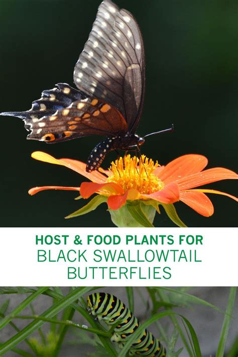 How to Attract and Feed Black Swallowtail Butterflies