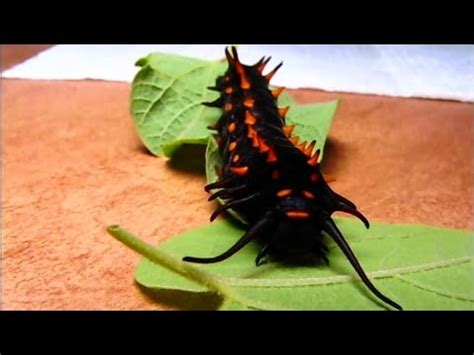 Pipevine Swallowtail Butterfly Life Cycle B-Reel