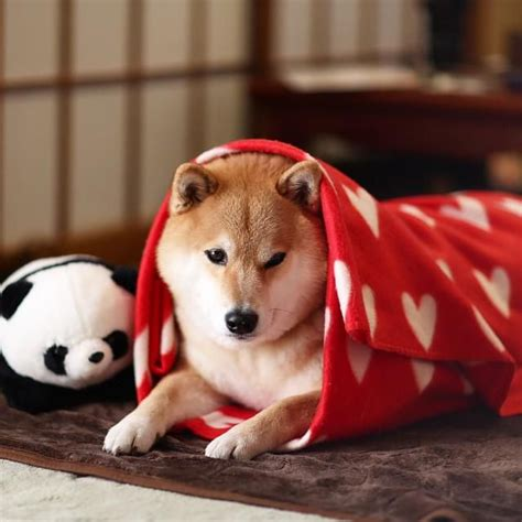 446 best images about shiba-inu♡ / 柴犬 on Pinterest | Shiba inu, Doge and Animals