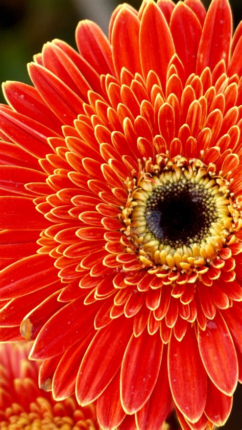 Wallpaper Gerbera flowers, Orange flowers, HD, 5K, Flowers