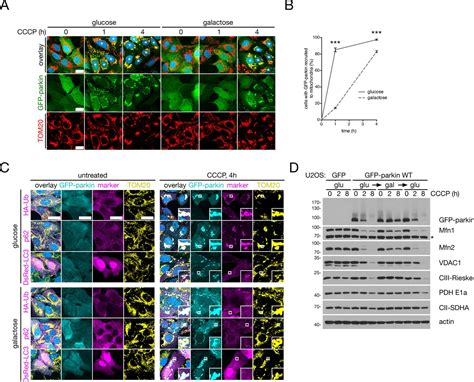 Figures and data in Mfn2 ubiquitination by PINK1/parkin